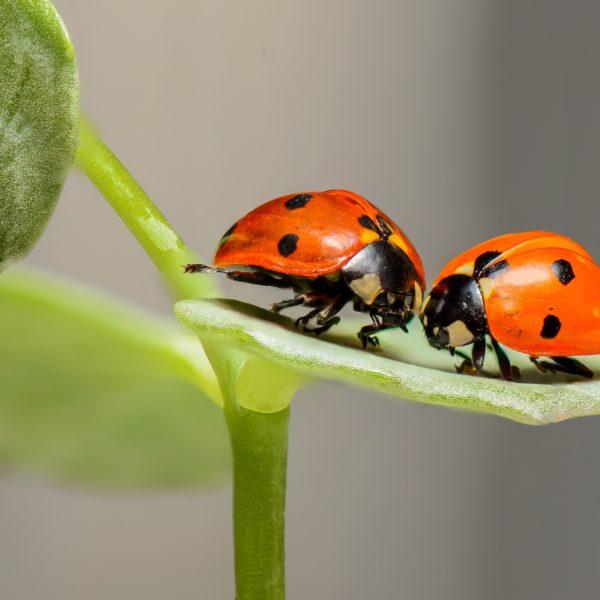 Sustainable Inspiration Ladybugs